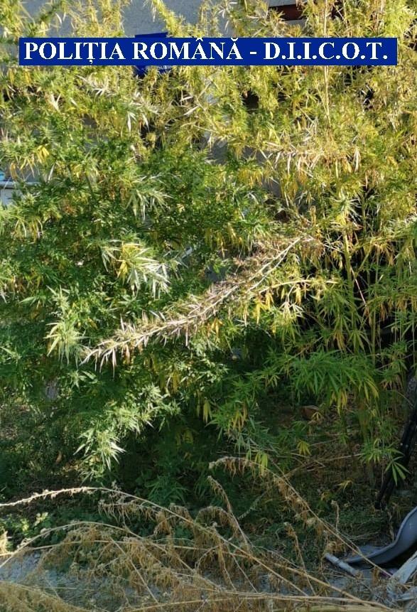 Cultură de canabis găsită de polițiști în curtea unui timișorean